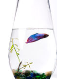 Blue/purple Siamese Fighting Fish - Betta Splenden Stock Photos