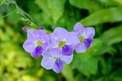 Blue purple soft nice flower Stock Photography