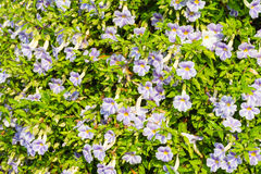 Blue purple soft nice flower of Laurel clock vine Stock Photos