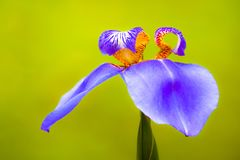 "Blue purple ""Walking Iris"" Neomarica caerulea tropical flower macro photo Stock Photography"