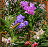 Blue, purple, white Vanda orchids in the glasshouse. Flower arrangement Royalty Free Stock Photography
