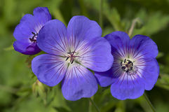 Blue and purple wild geranium Royalty Free Stock Photo