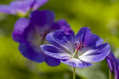 Blue and purple wild geranium Royalty Free Stock Photography