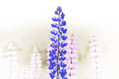 Blue and purple wild lupine Stock Photos