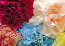 Blue, purple, yellow, red carnation Royalty Free Stock Photography