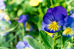 Blue purple and yellow viola flowers on green leaves Royalty Free Stock Photography