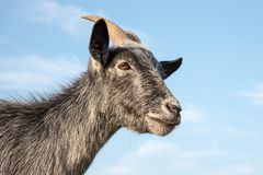 Blue pygmy goat Stock Photos