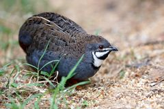 Blue Quail Bird Royalty Free Stock Photo