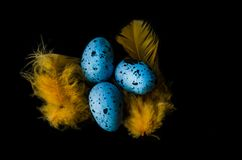 Blue quail eggs on a black background and yellow, bright feathers royalty free stock photography