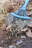 Rake on a pile of autumn leaves new grass sprout stock photo