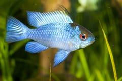 Blue Ram (Mikrogeophagus ramirezi) Stock Images