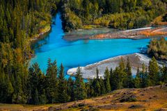 Blue rapid river. Flows through the wild area with coniferous forest. Altai Republic, Russia royalty free stock image
