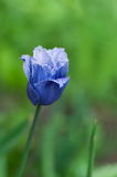 Blue rare tulip Royalty Free Stock Photography