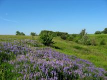 Blue ravine - blue sky. Blue ravine sky summer morning blue wildflowers green meadow grass vegetation Stock Image