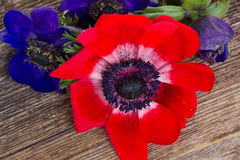 Blue and red anemone flowers Stock Photos