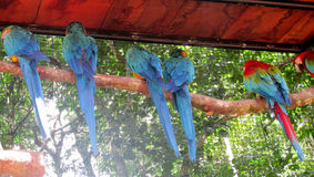 Blue and red ara parrots turned back Royalty Free Stock Photo
