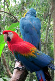 Blue and red ara parrots Stock Image