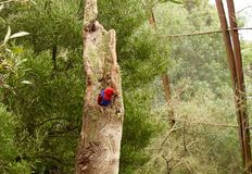 The Blue and Red. The crimson rosella parrot royalty free stock image