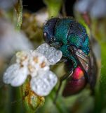 Blue and Red Cuckoo Wasp in Closeup Photo Royalty Free Stock Images