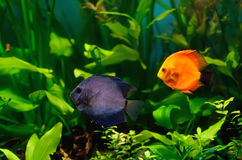 Discus fish in the aquarium Royalty Free Stock Image