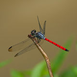 A blue red dragonfly. An blue and red dragonfly on a branch Royalty Free Stock Photo