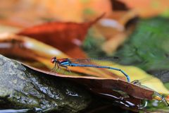 Blue and red dragonfly posing on the river stock images