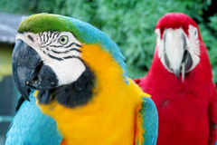 Blue, red, green and yellow feathers big parrots Royalty Free Stock Image