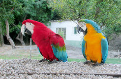 Blue, red, green and yellow feathers big parrots Stock Photography