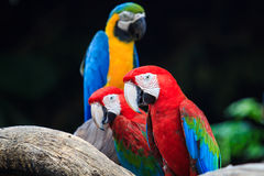 Blue-and-red macaw Royalty Free Stock Photo