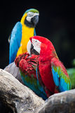Blue-and-red macaw Stock Images