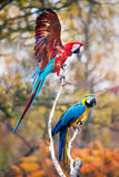Blue and red macaw. Close up shot of blue and red macaw portrait Stock Images