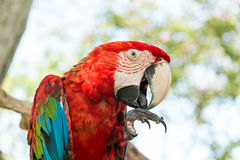 Blue and Red Macaw Parrot Stock Image