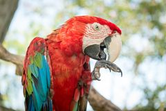 Blue and Red Macaw Parrot Stock Photography