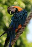 Blue and red tropical parrot Royalty Free Stock Images