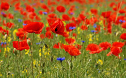 Blue-red-yellow. A field of red blossoms of poppies Stock Photography