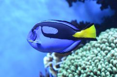 Blue Regal Tang In Aquarium. Blue Tang Palette Surgeonfish at the Monterey Bay Aquarium stock photo