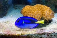 Blue regal tang Royalty Free Stock Images