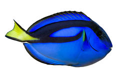 Blue regal tang (paracanthurus hepatus) isolated. Full side macro of blue regal tang (paracanthurus hepatus) isolated Stock Photos