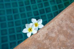 Blue Resort Swimming Pool & White Tropical Flower Royalty Free Stock Photos