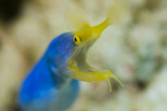 Blue ribbon eel Stock Images