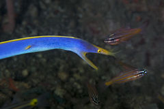 Blue Ribbon eel Royalty Free Stock Image