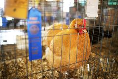 Blue Ribbon Winning Gold Comet Hen Chicken Shown at County Fair. A 4-H 1st place blue ribbon award winning Gold Comet Chicken Hen is in a cage at a County Fair Royalty Free Stock Image