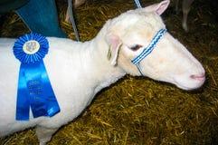 Blue ribbon winning Sheep Royalty Free Stock Photos