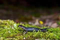 Blue Ridge Gray-cheeked Salamander Stock Photo