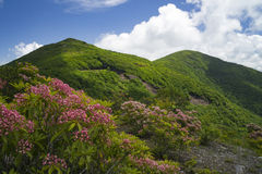 Blue Ridge in Spring. Mountain laurel blooming along the Blue Ridge Parkaway in Western North Carolina stock photography