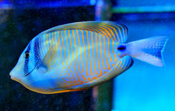 Blue Ring Angelfish. Blue Pomacanthus annularis in Aquarium Royalty Free Stock Photo