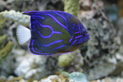Blue ring angelfish Stock Photo