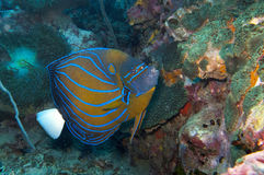 Blue ring angelfish. Blue ring angel fish swims by Stock Photography
