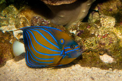 Blue Ring Angelfish in Aquarium Stock Photo