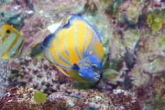 Blue-ring angelfish Royalty Free Stock Photos